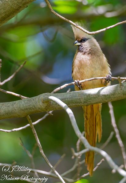 Speckled Mousebird, Colius striatus