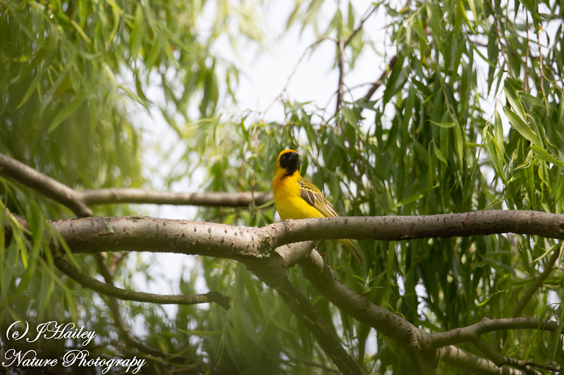 Southern Masked Weaver, Ploceus velatus