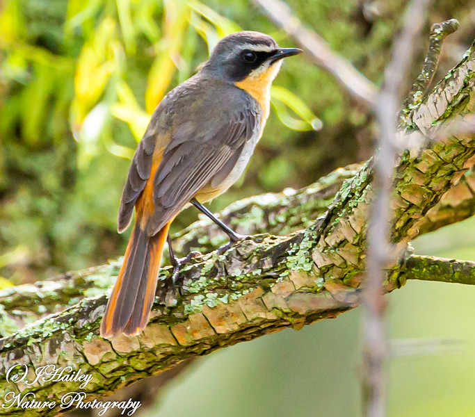 Cape Robin Chat, Cossypha caffra