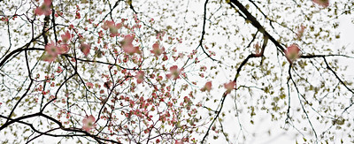 dogwood - pink blossoms - spring
