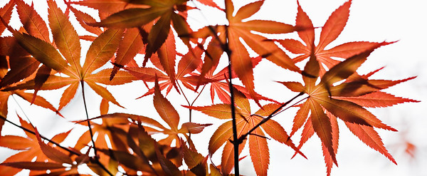 Japanese Maple - orange leaves- spring