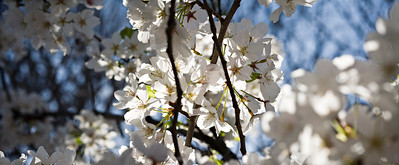 spring trees - cherry blossoms - New Jersey