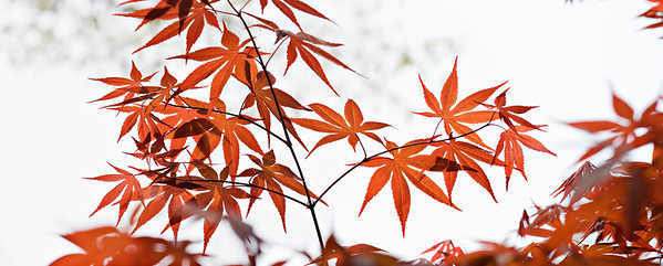 Japanese maple -  spring -New  Jersey