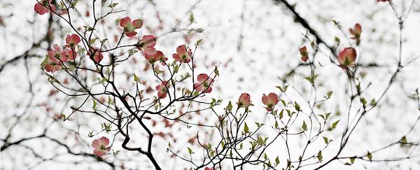 dogwood - pink blossoms - spring