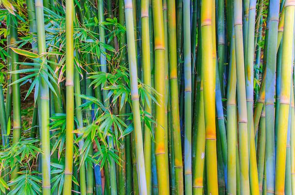 Hana, Maui, Hawaii, USA --- Bamboo plants on Maui --- Image by © Ron Dahlquist/Corbis Bambus (Bambusoideae) ist eine der zwölf Unterfamilien aus der Familie der Süßgräser (Poaceae), der etwa 116 Gattungen zugerechnet werden. Die Unterfamilie wird in drei Tribus geteilt, wobei Arundinarieae und Bambuseae verholzende Arten beinhalten und Olyreae krautig wachsende Pflanzen. Bambusarten treten auf allen Erdteilen auf mit Ausnahme von Europa und der Antarktis.