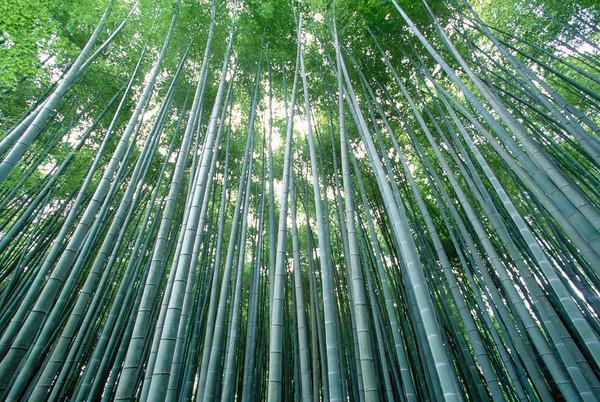 16 Jun 2005, Kyoto, Japan --- A majestic grove of Japanese bamboo stretches overhead inside the gardens at Jizo-in, Kyoto's Temple of Bamboo. --- Image by © B.S.P.I./Corbis Bambus (Bambusoideae) ist eine der zwölf Unterfamilien aus der Familie der Süßgräser (Poaceae), der etwa 116 Gattungen zugerechnet werden. Die Unterfamilie wird in drei Tribus geteilt, wobei Arundinarieae und Bambuseae verholzende Arten beinhalten und Olyreae krautig wachsende Pflanzen. Bambusarten treten auf allen Erdteilen auf mit Ausnahme von Europa und der Antarktis.