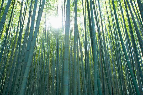 Bamboo trees in Asia --- Image by © Jong Beom Kim/TongRo Images/Corbis Bambus (Bambusoideae) ist eine der zwölf Unterfamilien aus der Familie der Süßgräser (Poaceae), der etwa 116 Gattungen zugerechnet werden. Die Unterfamilie wird in drei Tribus geteilt, wobei Arundinarieae und Bambuseae verholzende Arten beinhalten und Olyreae krautig wachsende Pflanzen. Bambusarten treten auf allen Erdteilen auf mit Ausnahme von Europa und der Antarktis.