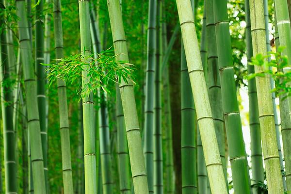 Japan --- Green bamboo trees --- Image by © Image Werks/Corbis