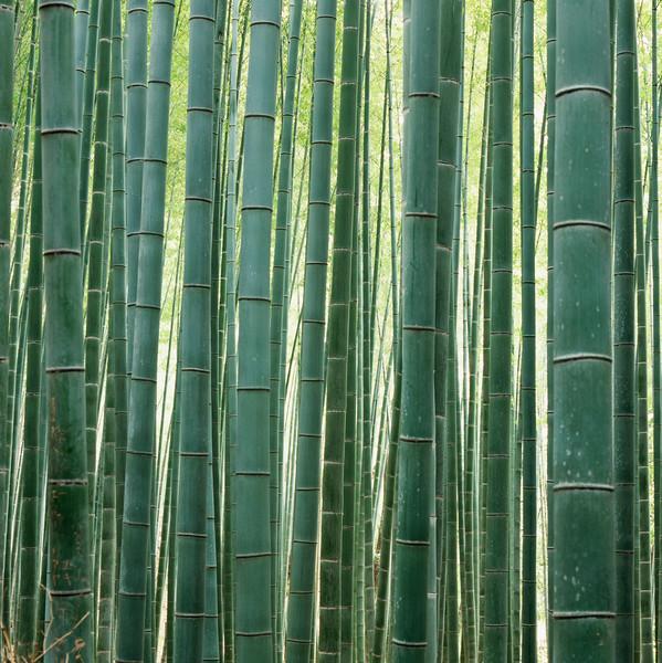 15 Nov 2009, Kyoto, Japan --- Bamboo Forest in Kyoto --- Image by © Micha Pawlitzki/Corbis