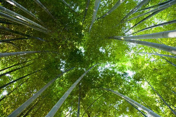 Tokyo, Japan --- Bamboo Forest --- Image by © Christine Schneider/Corbis Bambus (Bambusoideae) ist eine der zwölf Unterfamilien aus der Familie der Süßgräser (Poaceae), der etwa 116 Gattungen zugerechnet werden. Die Unterfamilie wird in drei Tribus geteilt, wobei Arundinarieae und Bambuseae verholzende Arten beinhalten und Olyreae krautig wachsende Pflanzen. Bambusarten treten auf allen Erdteilen auf mit Ausnahme von Europa und der Antarktis.