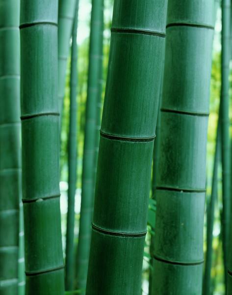 Bamboo, close-up --- Image by © 2/Akira Kaede/Ocean/Corbis Bambus (Bambusoideae) ist eine der zwölf Unterfamilien aus der Familie der Süßgräser (Poaceae), der etwa 116 Gattungen zugerechnet werden. Die Unterfamilie wird in drei Tribus geteilt, wobei Arundinarieae und Bambuseae verholzende Arten beinhalten und Olyreae krautig wachsende Pflanzen. Bambusarten treten auf allen Erdteilen auf mit Ausnahme von Europa und der Antarktis.