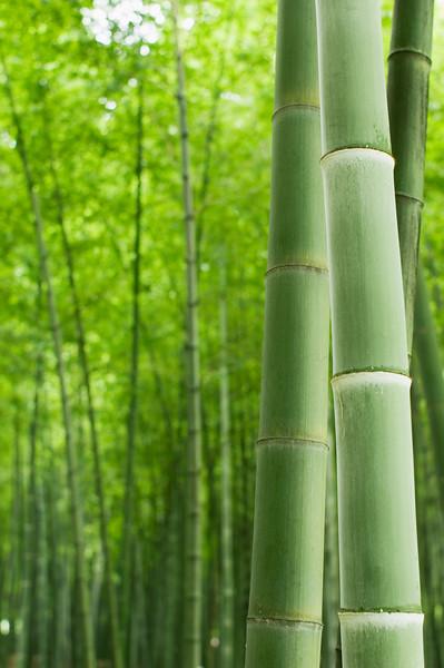 Giant Bamboo Forest --- Image by © Jason Hosking/Corbis Bambus (Bambusoideae) ist eine der zwölf Unterfamilien aus der Familie der Süßgräser (Poaceae), der etwa 116 Gattungen zugerechnet werden. Die Unterfamilie wird in drei Tribus geteilt, wobei Arundinarieae und Bambuseae verholzende Arten beinhalten und Olyreae krautig wachsende Pflanzen. Bambusarten treten auf allen Erdteilen auf mit Ausnahme von Europa und der Antarktis.