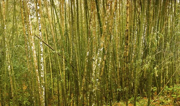 BAMBUS--- Close-up of bamboo trees--- Image by © Aram Radomski/www.berlintapete.de