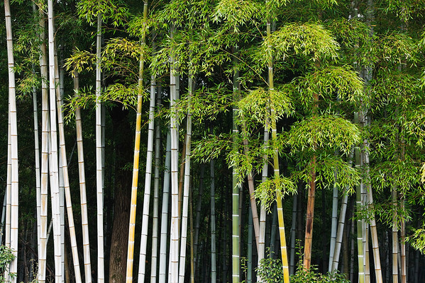 Kyoto, Japan --- Bamboo Forest in Sagano --- Image by © Rudy Sulgan/Corbis