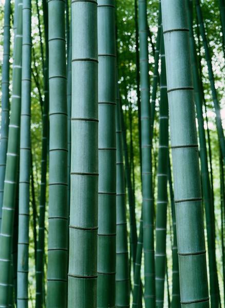Bamboo Grove --- Image by © 2/Akira Kaede/Ocean/Corbis Bambus (Bambusoideae) ist eine der zwölf Unterfamilien aus der Familie der Süßgräser (Poaceae), der etwa 116 Gattungen zugerechnet werden. Die Unterfamilie wird in drei Tribus geteilt, wobei Arundinarieae und Bambuseae verholzende Arten beinhalten und Olyreae krautig wachsende Pflanzen. Bambusarten treten auf allen Erdteilen auf mit Ausnahme von Europa und der Antarktis.