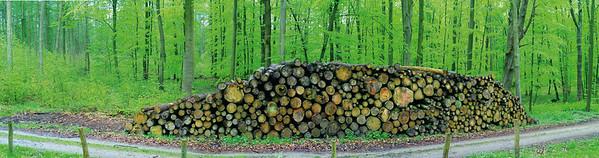 Baumscheiben - Buche Schön Grün