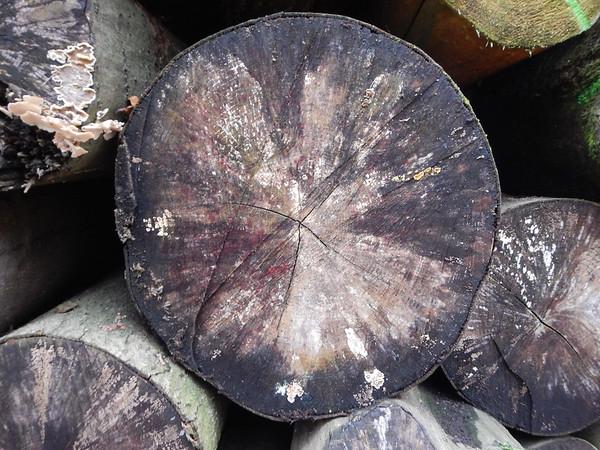 Baumscheiben - Buche
