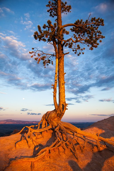 Bryce Canyon National Park, Utah, USA, USA --- A pine tree clings to the edge of an overlook at Inspiration Point, Bryce Canyon National Park, Utah. --- Image by © 145/Karen Desjardin/Ocean/Corbis