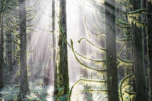 Forest with moss covered trees and sunbeams --- Image by © Claude Robidoux/All Canada Photos/Corbis