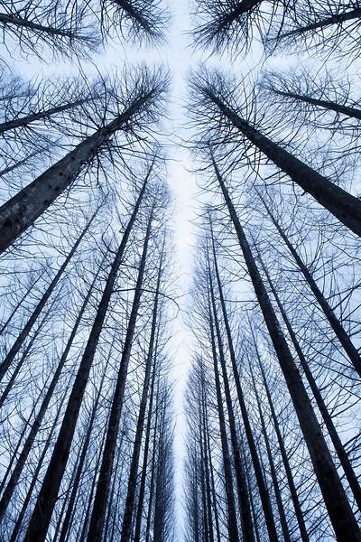 Metasequoia --- Image by © Topic Photo Agency/Corbis