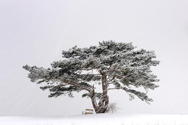Austria --- European Black Pine (Pinus nigra) in a snowstorm, Lower Austria, Austria, Europe --- Image by © Christian Handl/imageBROKER/Corbis