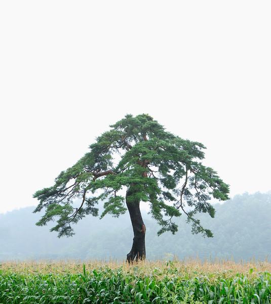 Gangneung, South Korea --- Pine, Gangneung, Gangwon, Korea --- Image by © Topic Photo Agency/Corbis