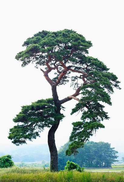 Gyeongju, South Korea --- Pine, Gyeongju, Gyeongbuk, Korea --- Image by © Topic Photo Agency/Corbis