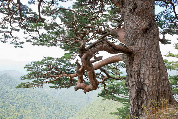 South Korea --- Geumgangsong _ Pine,Uljin-gun,Gyeongbuk,Korea --- Image by © Topic Photo Agency/Corbis