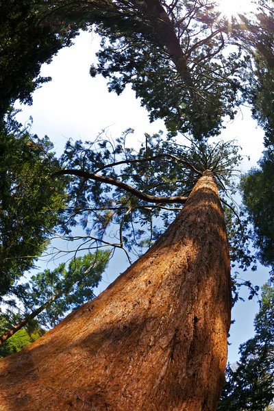 Giant Redwood (Sequoiadendron giganteum), Royal Botanic Gardens, Kew, London, England, United Kingdom, Europe