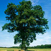 Quercus robur, English oak