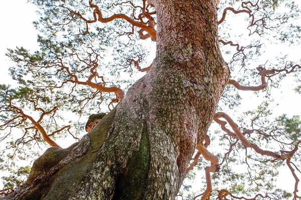 South Korea --- Goesan Samsongri Pine tree, Goesan-gun, Chungbuk, Korea --- Image by © Topic Photo Agency/Corbis