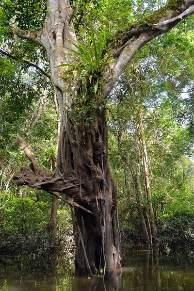Jungle giant in the Várzea forests, Mamirauá-Nationalpark, Manaus, Amazonas State, Brazil, South America --- Image by © Harald von Radebrecht/imageBROKER/Corbis