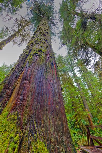 Western Redcedar (Thuja plicata)tree along the Rainforest Trail in the coastal rainforest of Pacific Rim National Park, Long Beach Unit, Clayoquot Sound UNESCO Biosphere Reserve, West Coast, Vancouver Island, British Columbia, Canada.