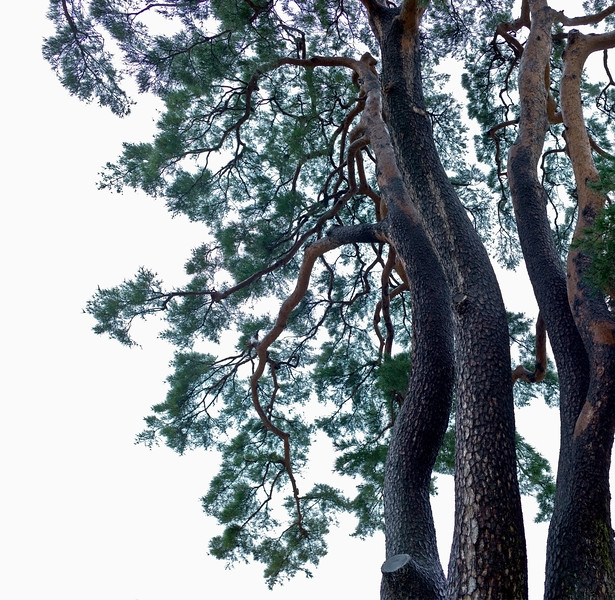 Pine --- Image by © Topic Photo Agency/Corbis