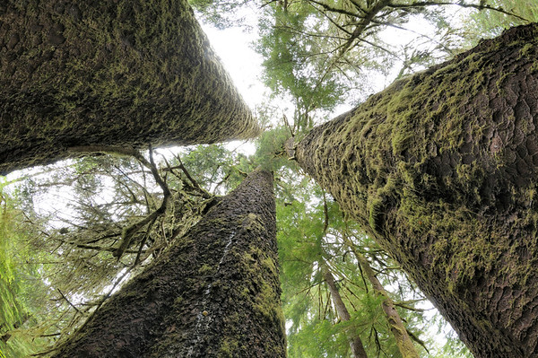 British Columbia, Canada --- Three Sisters, Sitka Spruce grove, Carmanah Walbran Provincial Park, British Columbia, Canada --- Image by © Kevin Oke/imageBROKER/Corbis