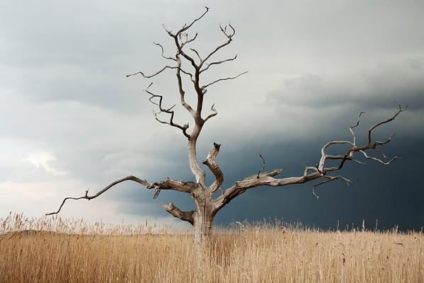 Elm, Switzerland --- Dead Elm tree, Ulmus procera, standing against grey, cloudy sky in open area of reeds. --- Image by © Eye Ubiquitous/Corbis