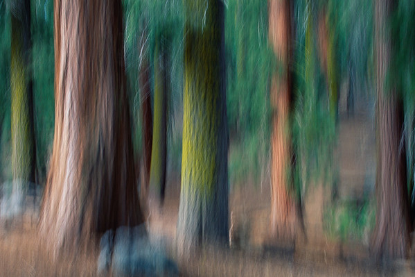 ca. 1990-2002, Sequoia National Park, California, California, USA, USA --- Blurred Photographic Study of Sequoias and Douglas Firs --- Image by © Hans Strand/CORBIS
