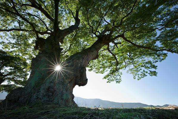 Zelova Tree, Boryeong, Chungnam, Korea --- Image by © Topic Photo Agency/Corbis