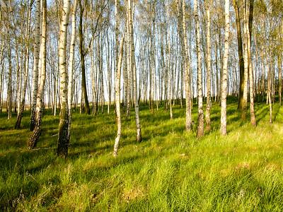 Birkenwald 2005