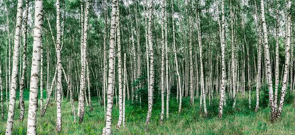 Gigapanoramen Birkenwald  Berlintapete Studios - high resolution photos © Aram Radomski  Birken-Arten sind laubabwerfende, sommergrüne Bäume oder Sträucher. Sie gehören zu den sehr schnell und hochwachsenden Gehölzen und können schon nach sechs Jahren Wuchshöhen von bis zu 7 Metern erreichen; ausgewachsen können sie bis zu 30 Meter, in Einzelfällen sogar noch höher werden. Sie wachsen mit einzelnen oder oft auch mit mehreren Stämmen. Einzelexemplare können ein Alter von bis zu 160 Jahren erreichen.  Bei vielen Birken-Arten ist die Borke besonders auffällig, ihre Farbe reicht von fast Schwarz über Dunkel- und Hellbraun bis Weiß; sie ist anfangs glatt, später lösen sich dünne, oft papierartige Stücke ab, schließlich reißt sie horizontal auf. Es sind oft deutliche, meist dunkle Lentizellen vorhanden, die sich manchmal horizontal vergrößern.