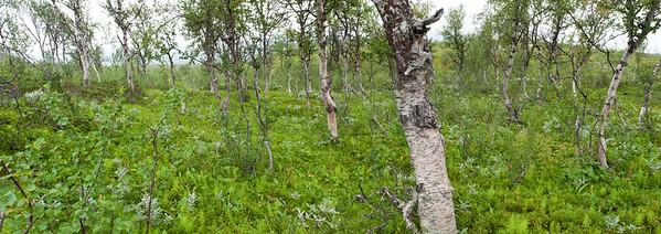 Schweden 0454-2010 PANO, Birkenurwald an der Baumgrenze des Favnoajvve