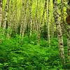 Birch Trees along Elliott Creek Trail in the Henry M Jackson Wilderness Washington