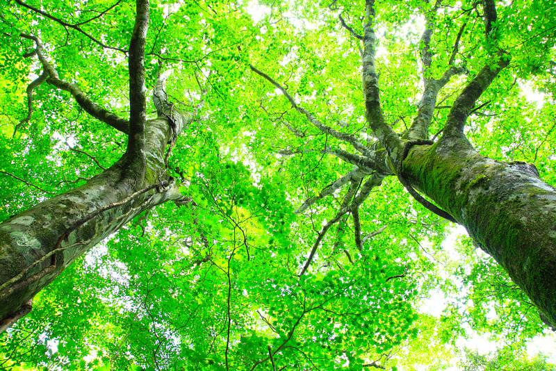 Blätterdach -  Blattstudien
