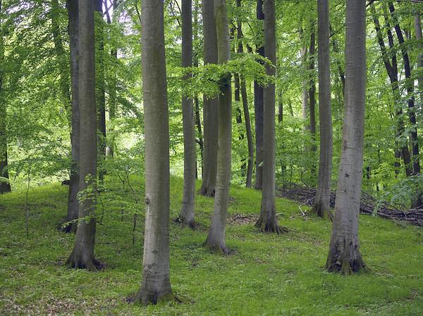 Buchenwald in Mecklenburg