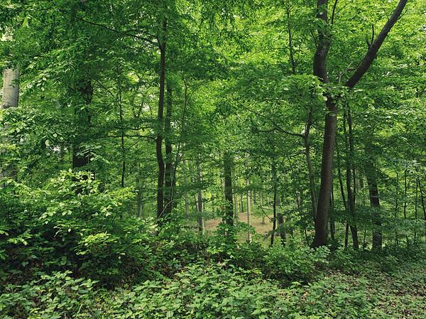 Buchenwald in Mecklenburg 10528