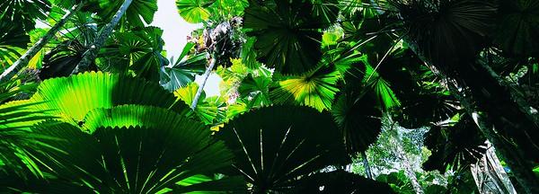 Licuala Palm Trees Growing in a Rainforest, Mission Beach, Wet Tropics, Queensland, Australia --- Image by © 13/Natphotos/Ocean/Corbis