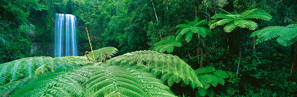 Tree Ferns dominate the surrounds of Millaa Millaa Falls in the Atherton Tablelands, north Queensland --- Image by © Nature Connect/Corbis