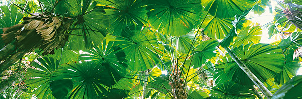 Fan Palm forest, Licuala ramsayi, Mission Beach, Daintree National Park Looking up at canopy, light shining through --- Image by © Nature Connect/Corbis