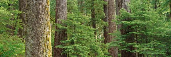 23 Jun 2009, Olympic National Park, Washington State, USA --- Temperate rainforest in Olympic National Park, Washington | Location: Washington, USA.  --- Image by © Greg Probst/Corbis