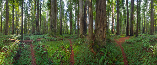 27 Oct 2009, Jedediah Smith Redwoods State Park, Redwood National Park, California, USA --- Big redwood trees and trail among sword ferns in Jedediah Smith Redwoods State Park, California --- Image by © Momatiuk - Eastcott/Corbis